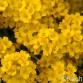 Alyssum montanum Berggold