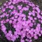 Dianthus gratianapolitanus 'La Bourboule`