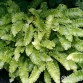 Phyllitis scolopendrium